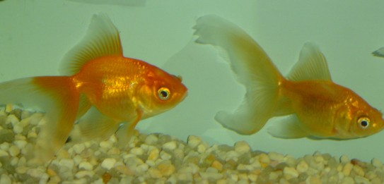 Fantail Gold Fish