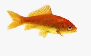 Common Gold Fish
