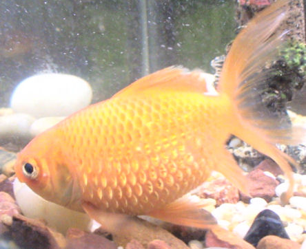 fish affected by dropsy