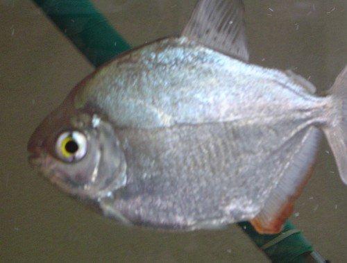 Silver Dollar Fish